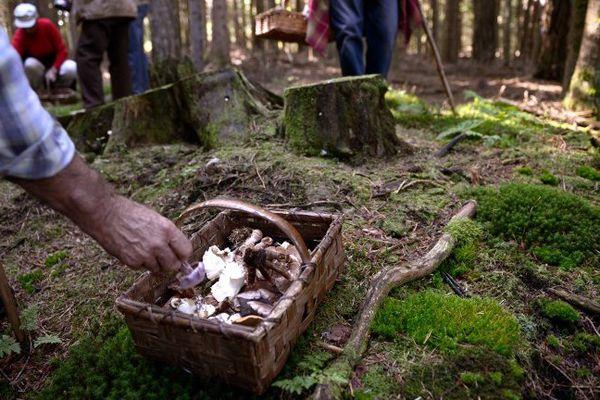 Une cueillette de champignons par des particuliers, à Saint-Bonnet-le-Froid, en 2013.