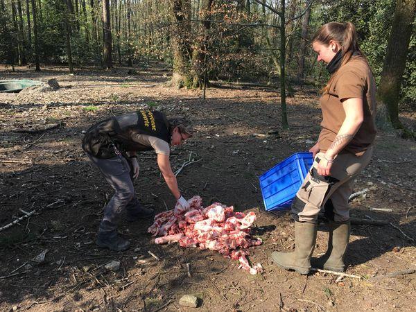 Les bouchers des villages voisins fournissent des restes de viande pour le repas des loups. Coralie et Orlane, les soigneuses du parc.