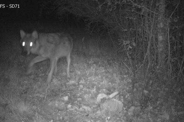 Le loup auteur de l'attaque sur des ovins à Barnay en Saône-et-Loire a été filmé par une caméra piège de l'Office national de la chasse et de la faune sauvage.