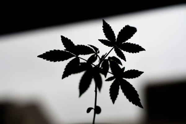 La légalisation du cannabis fait débat au sein de la famille des Républicains.