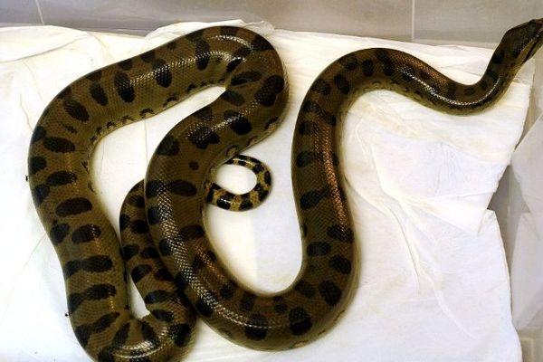 Un anaconda