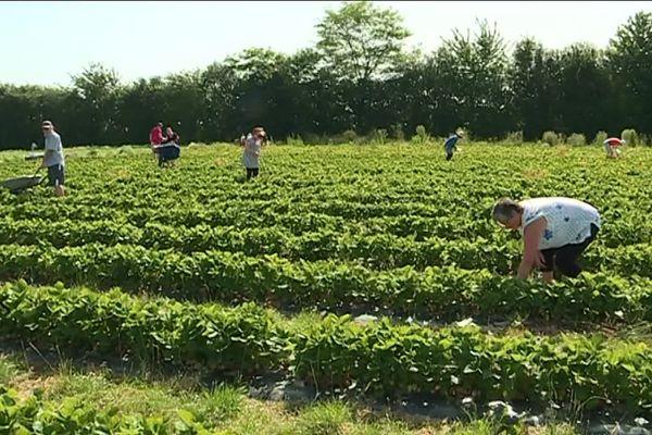 cueillette de Cagny dans le Calvados : les consommateurs mettent la main à la pâte comme si c'était leur jardin !