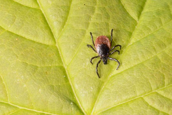 La maladie de Lyme est une infection bactérienne transmise à l'homme par piqûre de tiques.