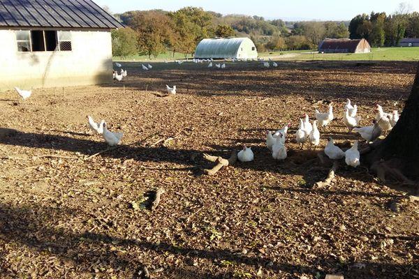 """Les volailles de Bresse bénéficient d'une dérogation pour rester à l'extérieur, malgré le risque """"élevé"""" de grippe aviaire dans 46 départements dont le Rhône, l'Ain, la Drôme et l'Ardèche, depuis vendredi 6 novembre."""