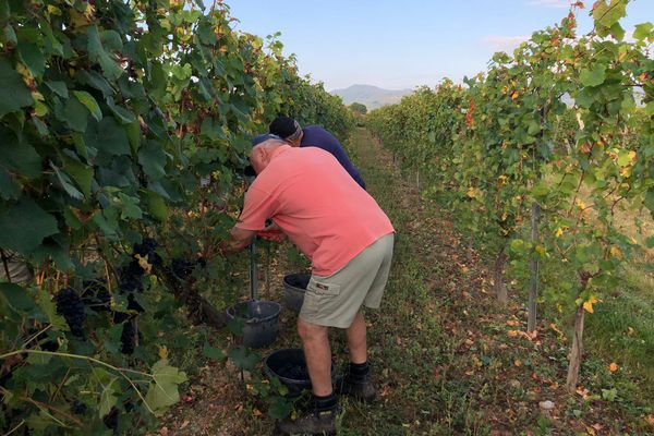 Les vendanges pour les crémants ont démarré ce 13 septembre, ici au domaine Stentz, à Wettolsheim. La date avait été annoncée par l'association des viticulteurs d'Alsace la semaine dernière.