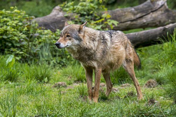 Le loup est aujourd'hui protégé par la Convention de Berne.