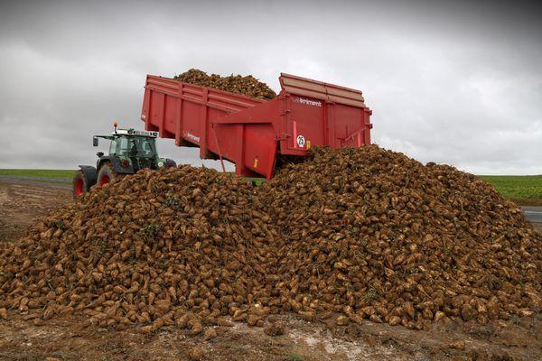 les betteraves sont déposées au bord des routes et transportées à la sucrerie