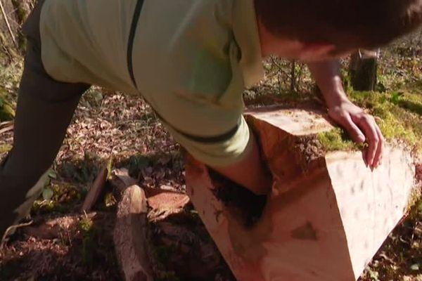 Besançon : la chalarose détruit les frênes en les rongeant de l'intérieur