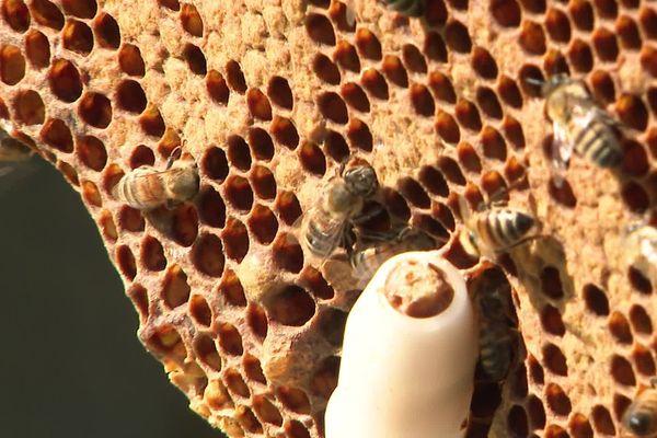 Une récolte de miel exceptionnelle dans les Hauts-de-France