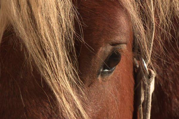 Un cheval comtois