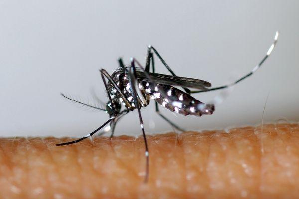 Un moustique-tigre, long de quelques millimètres et rayé de blanc et de noir.