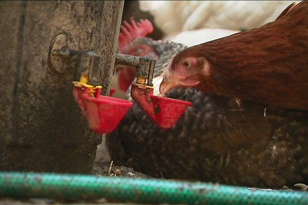 Pour éviter une surmortalité des poules pendant les fortes chaleurs, il est recommandé de les mettre à l'ombre et de les abreuver régulièrement.