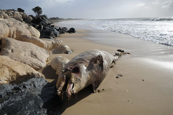 Échouage record de dauphins en Charente-Maritime.