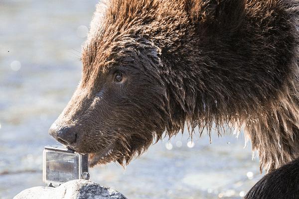 L'ours a, en effet, tendance, parfois, à divaguer.