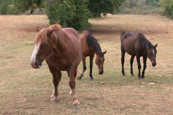 Des chevaux appartenant à l'élevage de Meussia, dans le Jura, où une jument a été attaquée, vendredi 14 août.