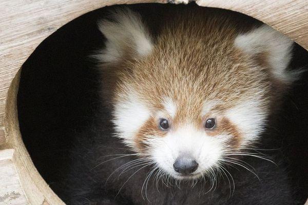 Shifumi, le dernier panda roux né au parc d'Ardes-sur-Couze, vient d'avoir deux petits frères et soeurs. Le 19 juin, après 130 jours de gestation, Mushu, la femelle panda roux, a donné naissance à deux petits.