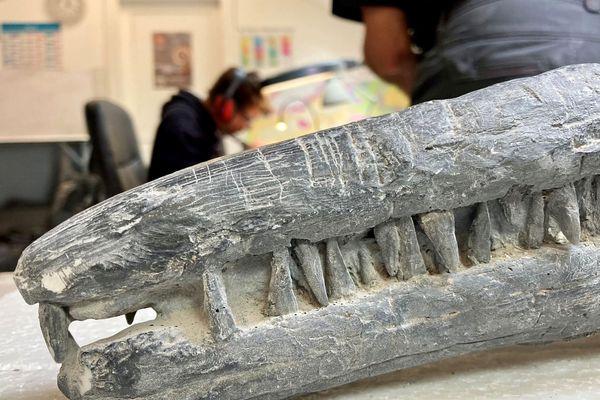 Les ichtyosaures mesuraient jusqu'à 20 mètres de long et avaient un museau très allongé avec des dents pointues.