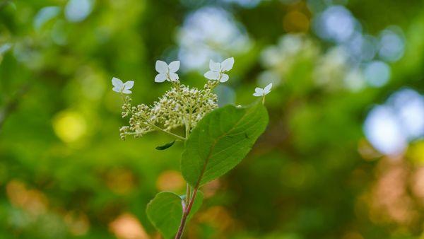 Le début de la floraison pour l'un des nombreux hydrangeas du jardin
