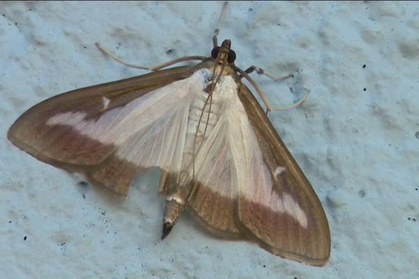 La Pyrale du buis, sous forme de papillon menace les fleurs et les abeilles.