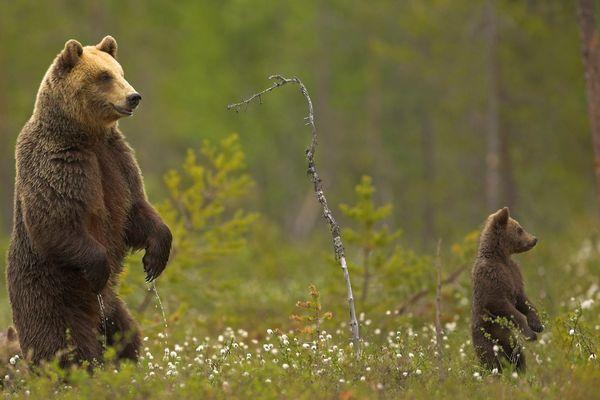Illustration/Les naissances d'oursons sont observées au printemps.