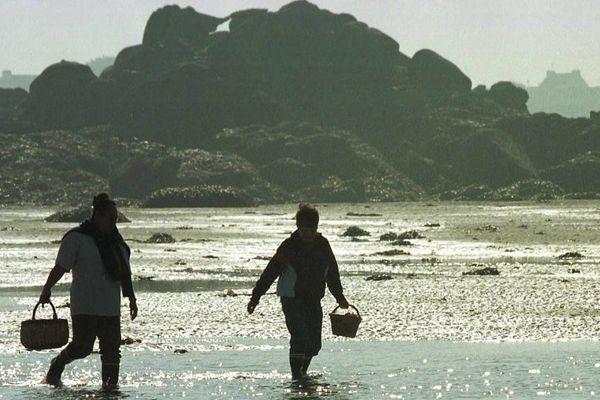 La prolifération du dinophysis entraîne des interdictions de pêche à pied à titre professionnel et de loisir sur une bonne partie de la façade Atlantique jusque dans le Morbihan, où la plupart des coquillage exceptés les vernis sont touchés.