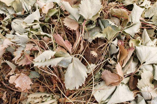 Ces feuilles ont subi la pollution