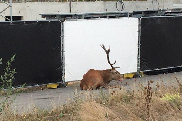 Poursuivi par la meute, le cerf s'est réfugié dans une zone en construction.