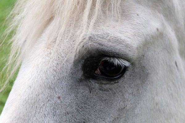 Plus de 150 enquêtes ont été ouvertes en France à la suite de mutilations de chevaux.