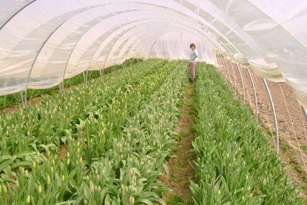 Les milliers de tulipes impossibles à vendre pour Agnès et Jean-Marc Schneider