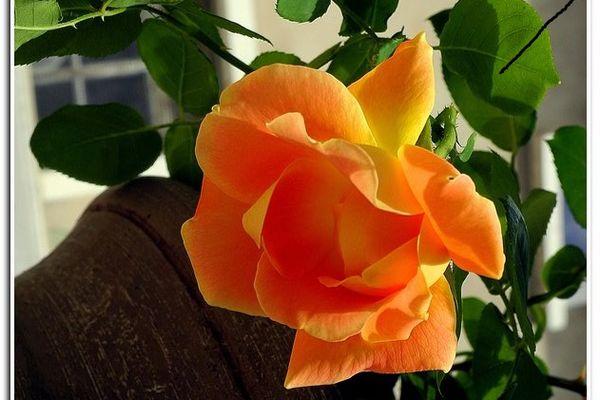 La rose Ninon Vallin, créée en 1934, disparue et retrouvée, fleurit à nouveau.