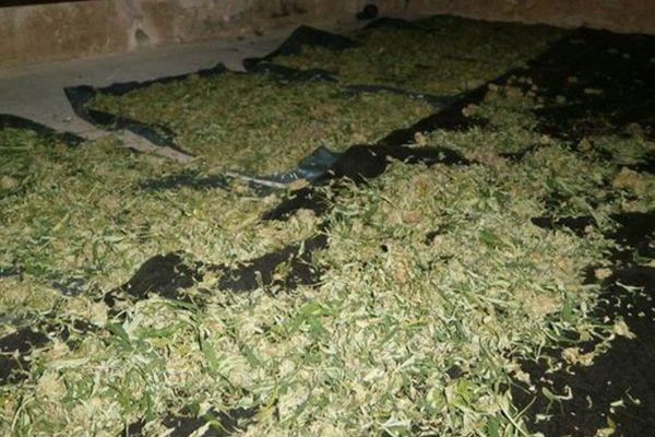 La gendarmerie a fait la découverte de 140 kg de cannabis sur pied dans une maison de Saint-Gilles-Croix-de-Vie