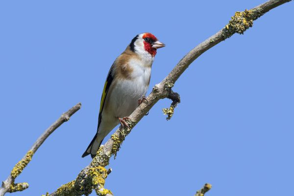 Le chardonneret élégant est un oiseau que l'on retrouve un peu partout en France, en particulier à proximité des zones boisées de l'Est de l'hexagone.