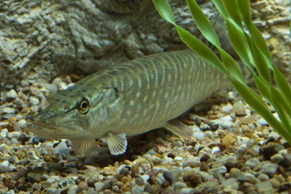 Le brochet est un poisson prédateur très commun en eau douce