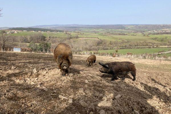 Pas moins de 25 truies, 300 cochons de races anciennes : le cheptel des Turgis vit toute l'année en plein air.