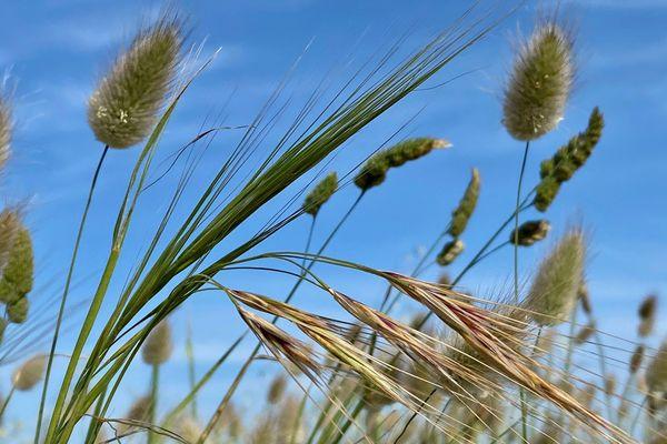 Herbes folles sous le ciel bleu de Quiberon (56)