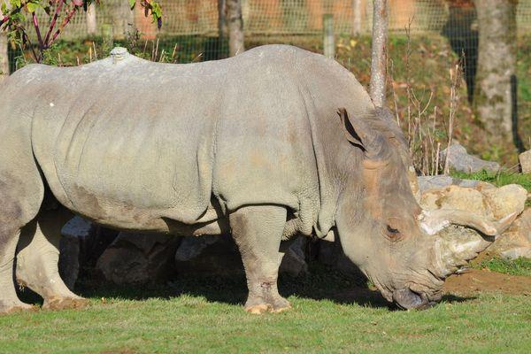 Sana, la femelle rhinocéros de Planète Sauvage et doyenne de son espèce, est morte le 12 novembre 2019