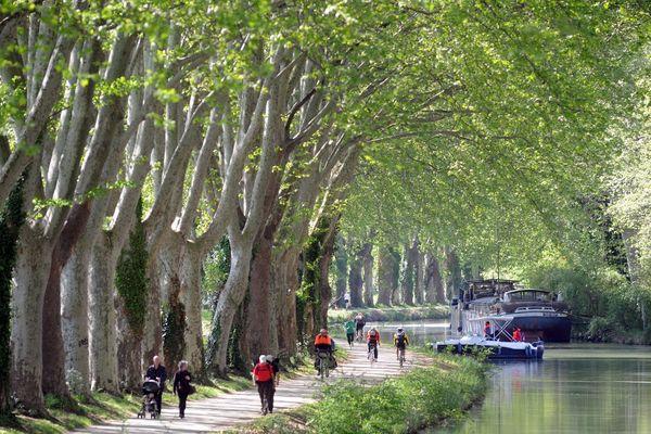 Platanes le long du Canal du Midi à Castanet (31)
