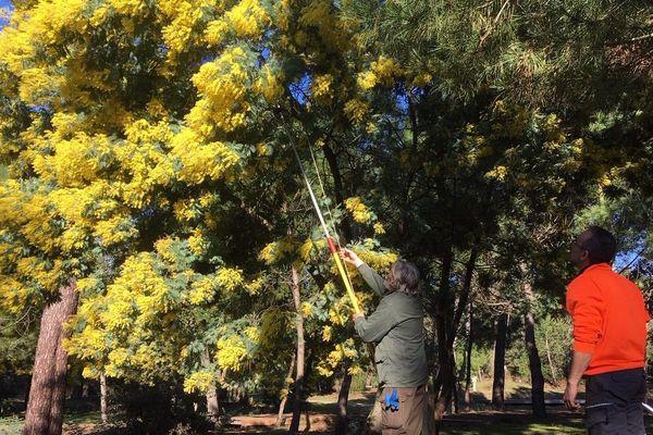 Préparation de la fête du mimosa à Saint-Trojan-les-Bains