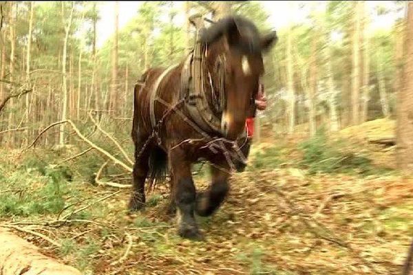 Des chevaux employés pour le débardage, dans la forêt de Fontainebleau, en Seine-et-Marne.