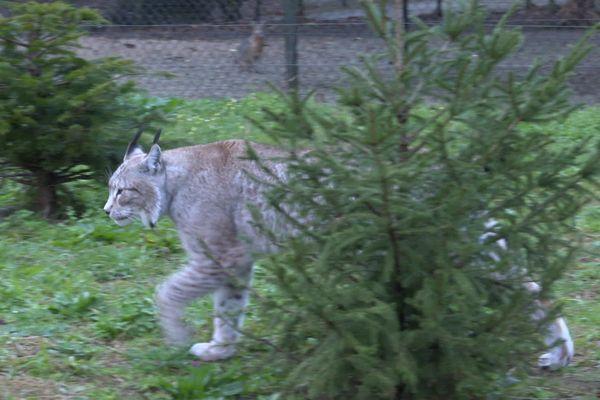 Les anciens sapins de Noël replantés dans l'enclos des lynx au Zoo de Labenne.