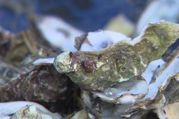 A La Souterraine en Creuse, on recycle les coquilles d'huîtres