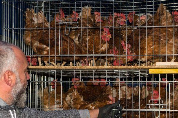 Les poules réformées de l'association « les Ch'tites Cocottes & Cie», basée dans le Nord Pas-de-Calais.