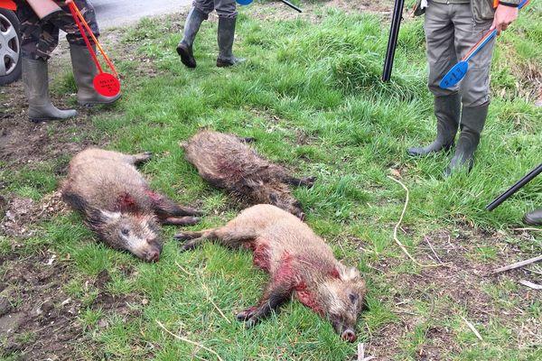 Lors de cette battue, les chasseurs ont abattu 3 sangliers d'une vingtaine de kilos.