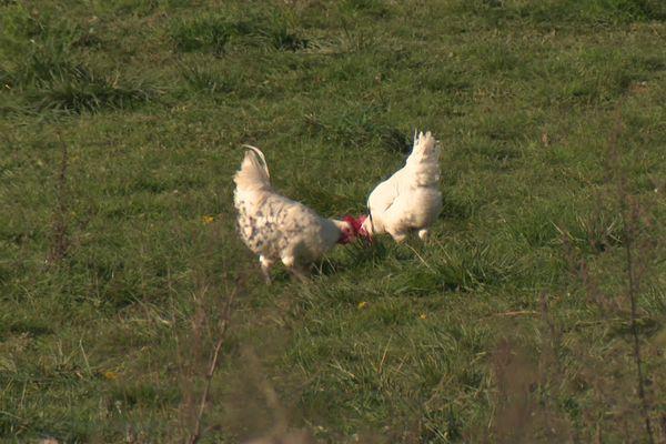 Pas de concours pour les volailles de Bresse cette année.