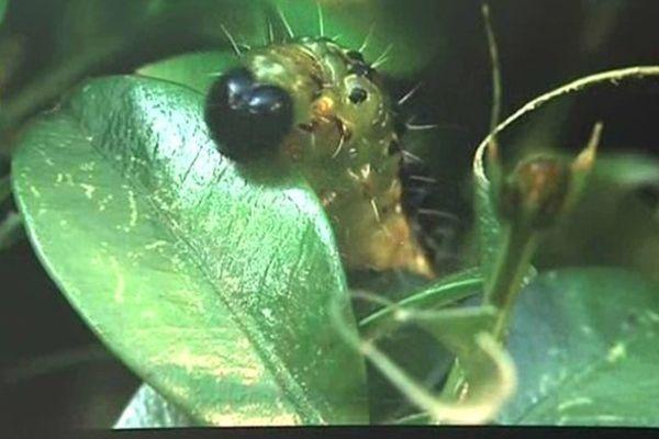 Avec sa tête noire et son corps vert clair, la pyrale du buis est facilement reconnaissable. Elle peut mesurer jusqu'à 4,4 centimètres.