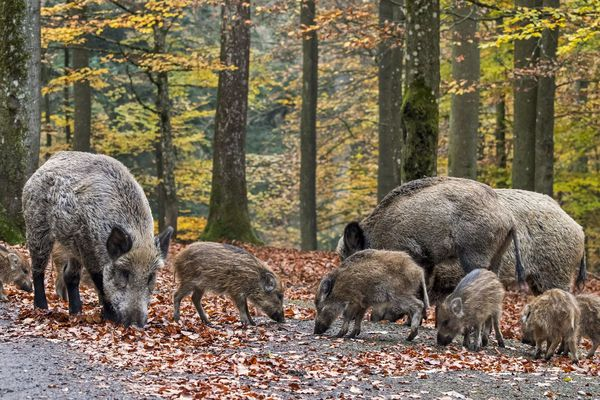 La prolifération des sangliers et d'autres espèces qui font des ravages à l'agriculture justifie que les chasseurs bénéficient de dérogations pour juguler la menace.