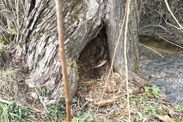 Les saules rapportent du bois mais hébergent aussi une faune diversifiée