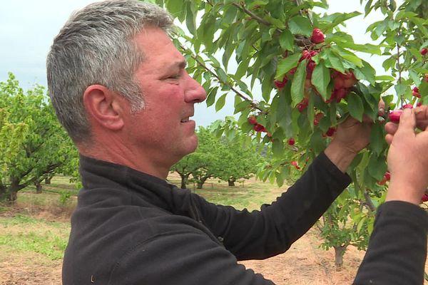 Les premières cerises de Céret commencent déjà à être récoltées grâce à une nouvelle variété : la Royal Tioga. avril 2021.