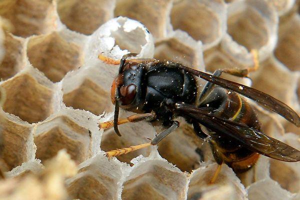 La reine fait un nid primaire à l'automne puis un second, plus important à partir de mai-juin.