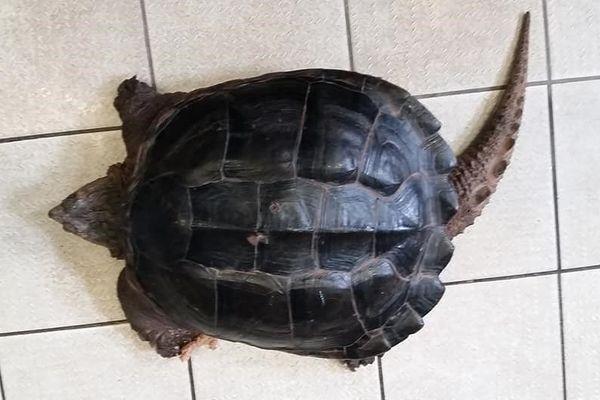 La tortue serpentine possède une longue queue pourvue d'écailles
